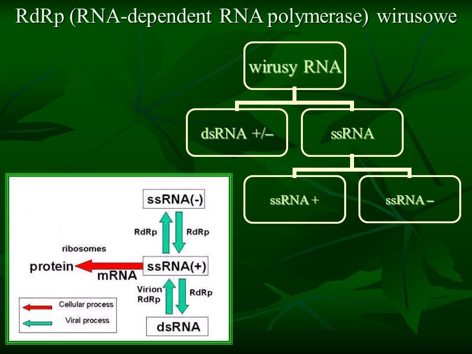 RdRp (RNA-dependent RNA polymerase) wirusowe