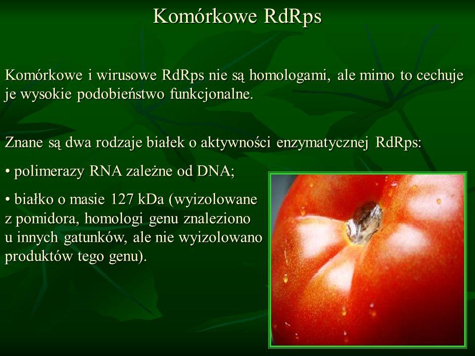 Komórkowe RdRps Komórkowe i wirusowe RdRps nie są homologami, ale mimo to cechuje je wysokie podobieństwo funkcjonalne.