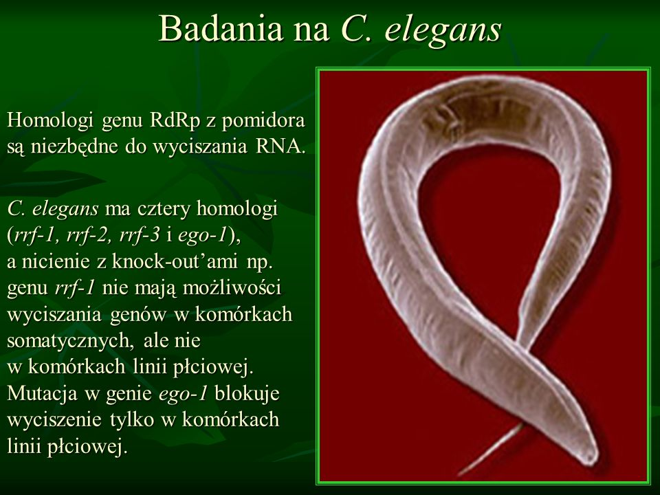 Badania na C. elegans Homologi genu RdRp z pomidora są niezbędne do wyciszania RNA.