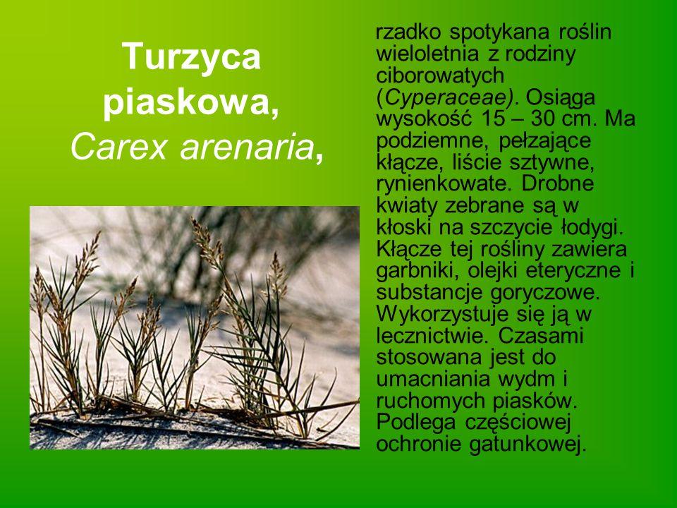 Turzyca piaskowa, Carex arenaria,