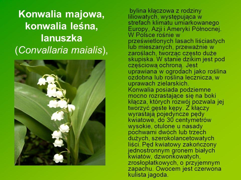 Konwalia majowa, konwalia leśna, lanuszka (Convallaria maialis),