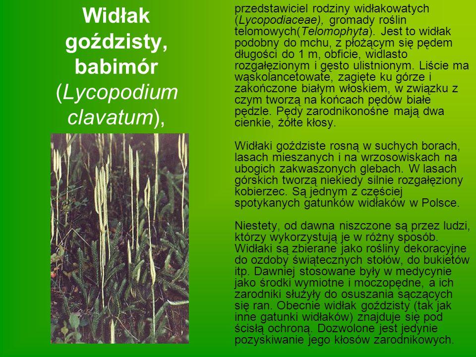 Widłak goździsty, babimór (Lycopodium clavatum),