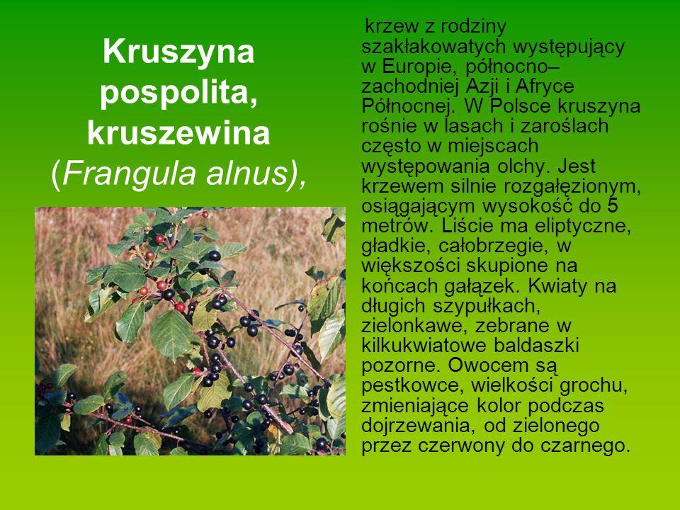 Kruszyna pospolita, kruszewina (Frangula alnus),