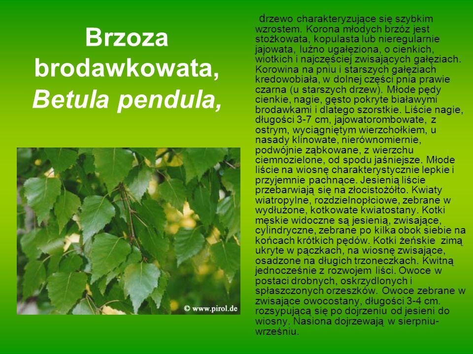 Brzoza brodawkowata, Betula pendula,