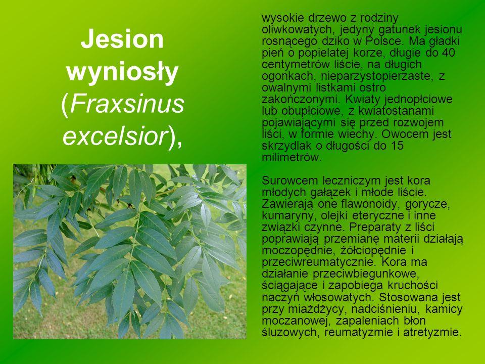 Jesion wyniosły (Fraxsinus excelsior),