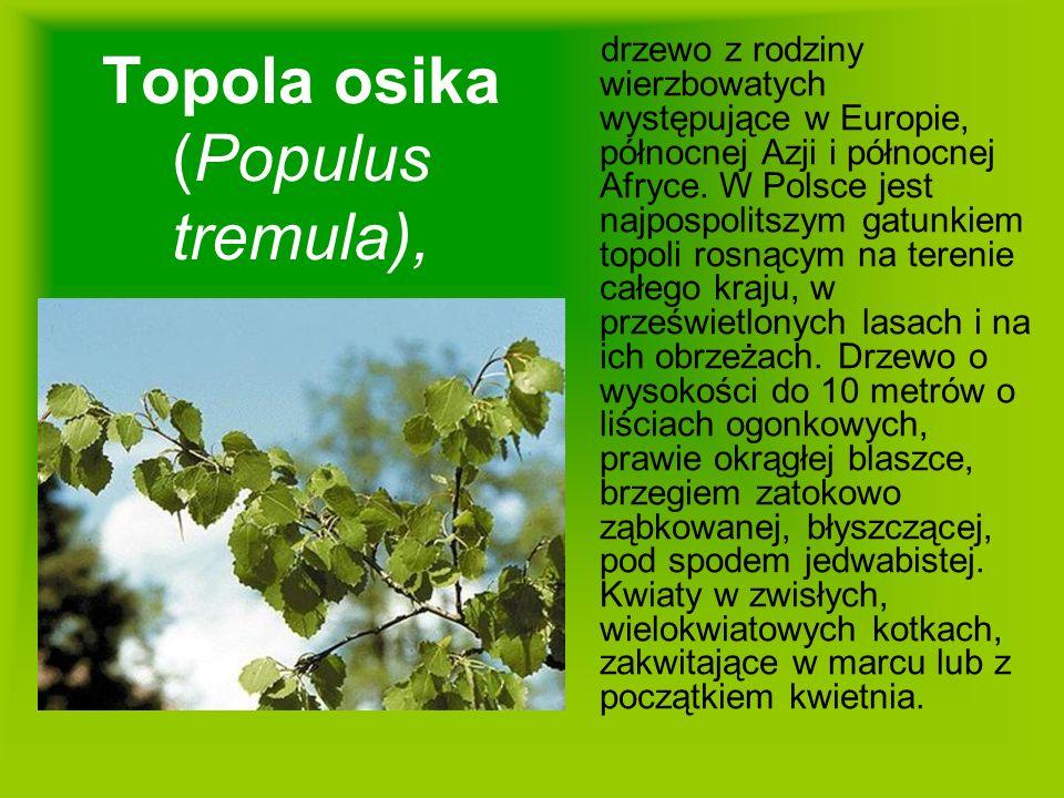 Topola osika (Populus tremula),