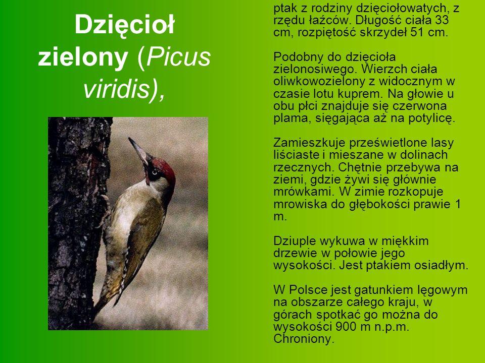 Dzięcioł zielony (Picus viridis),
