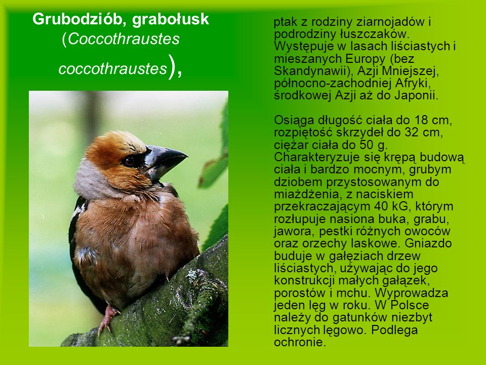 Grubodziób, grabołusk (Coccothraustes coccothraustes),