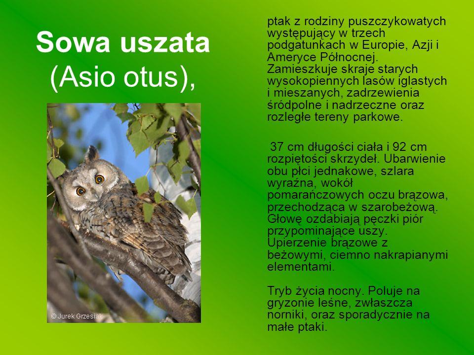 Sowa uszata (Asio otus),