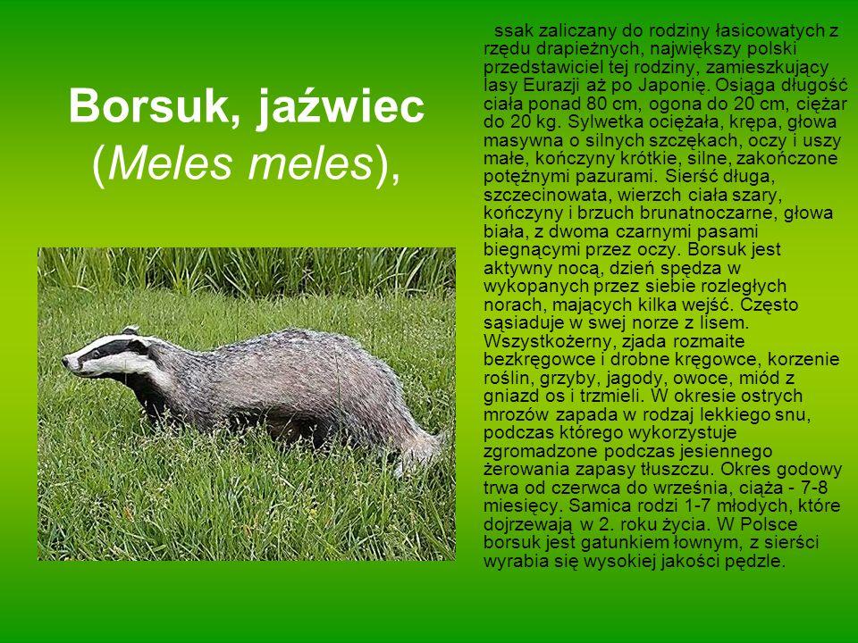 Borsuk, jaźwiec (Meles meles),
