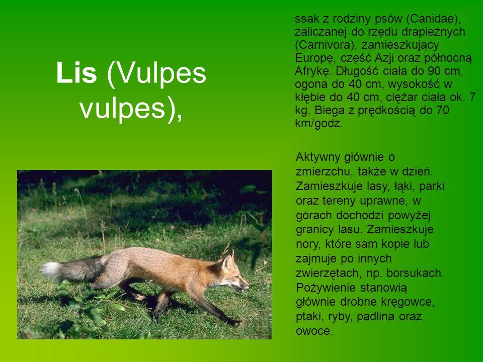 ssak z rodziny psów (Canidae), zaliczanej do rzędu drapieżnych (Carnivora), zamieszkujący Europę, część Azji oraz północną Afrykę. Długość ciała do 90 cm, ogona do 40 cm, wysokość w kłębie do 40 cm, ciężar ciała ok. 7 kg. Biega z prędkością do 70 km/godz.
