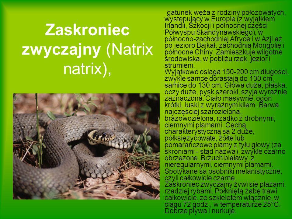Zaskroniec zwyczajny (Natrix natrix),