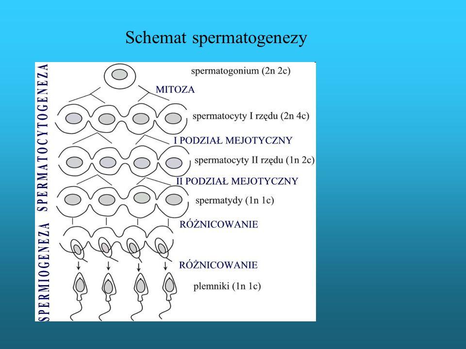 Schemat spermatogenezy