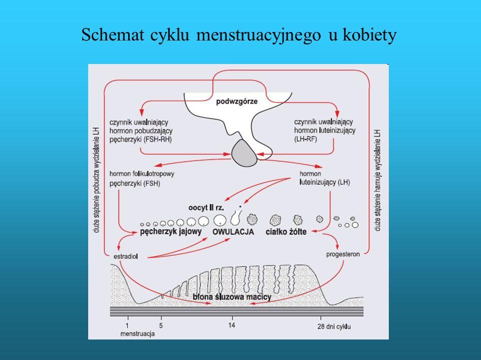 Schemat cyklu menstruacyjnego u kobiety