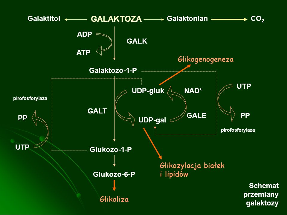 GALAKTOZA Galaktitol Galaktonian CO2 ADP GALK ATP Glikogenogeneza