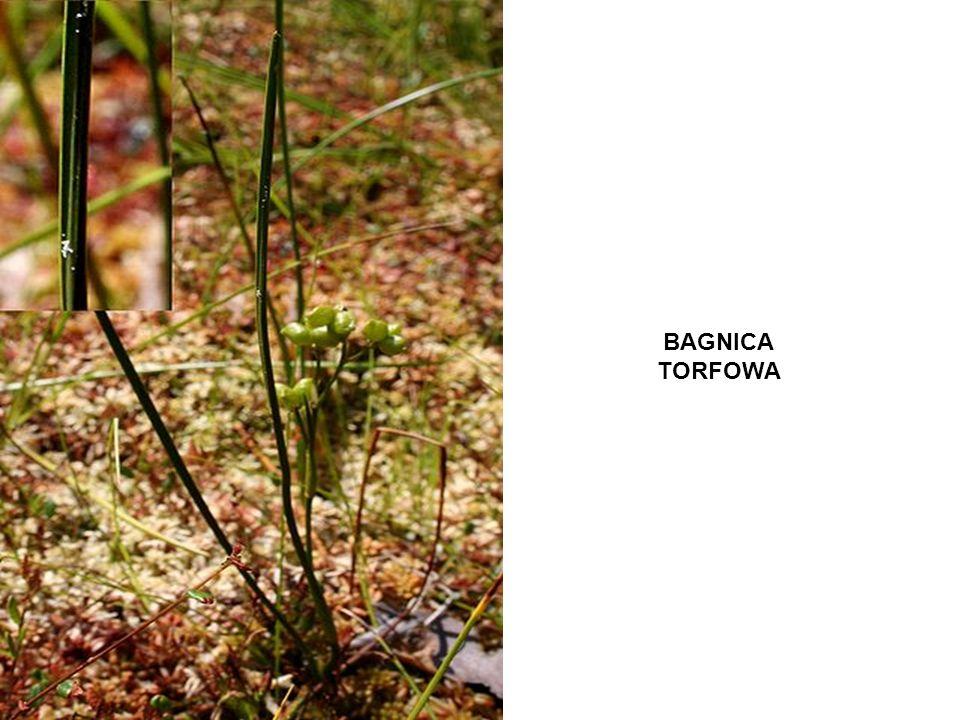 BAGNICA TORFOWA