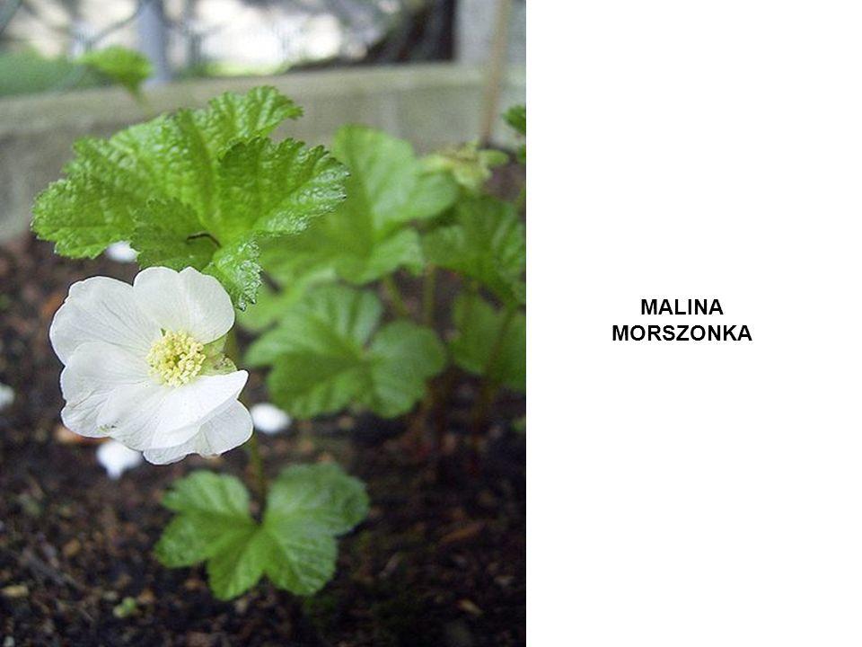 MALINA MORSZONKA