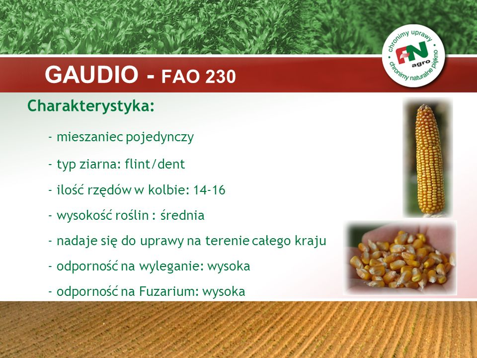 GAUDIO - FAO 230 Charakterystyka: - mieszaniec pojedynczy