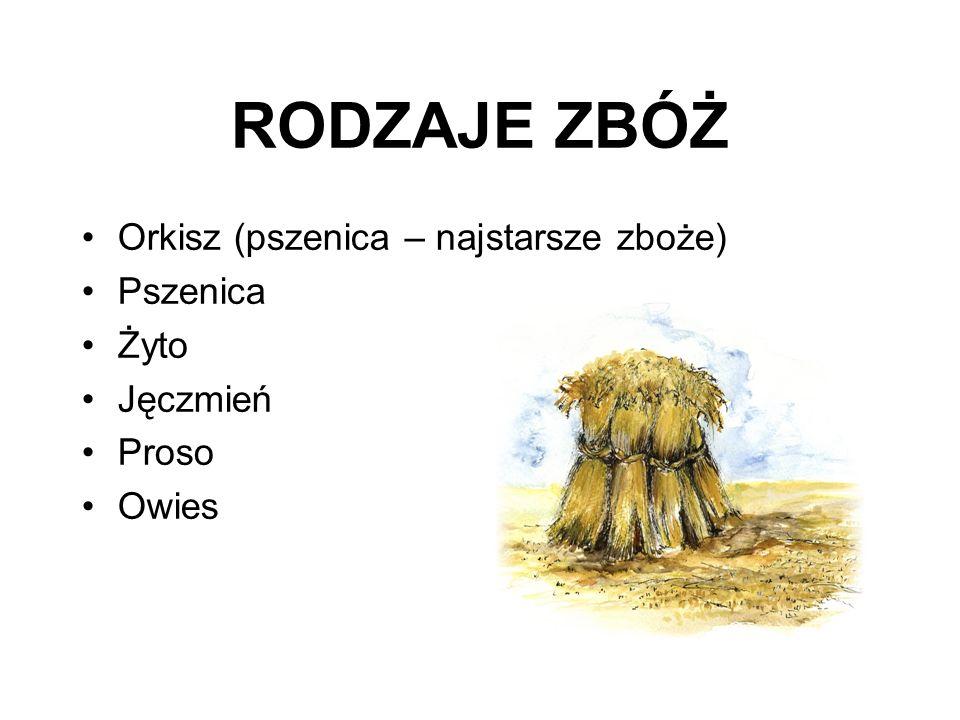 RODZAJE ZBÓŻ Orkisz (pszenica – najstarsze zboże) Pszenica Żyto