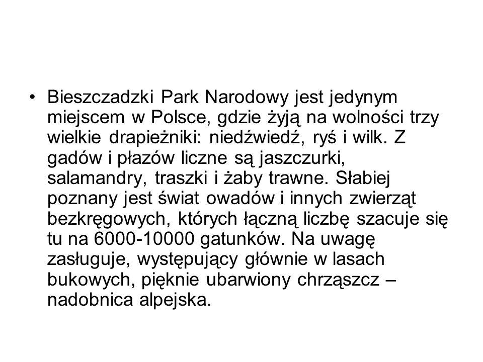 Bieszczadzki Park Narodowy jest jedynym miejscem w Polsce, gdzie żyją na wolności trzy wielkie drapieżniki: niedźwiedź, ryś i wilk.