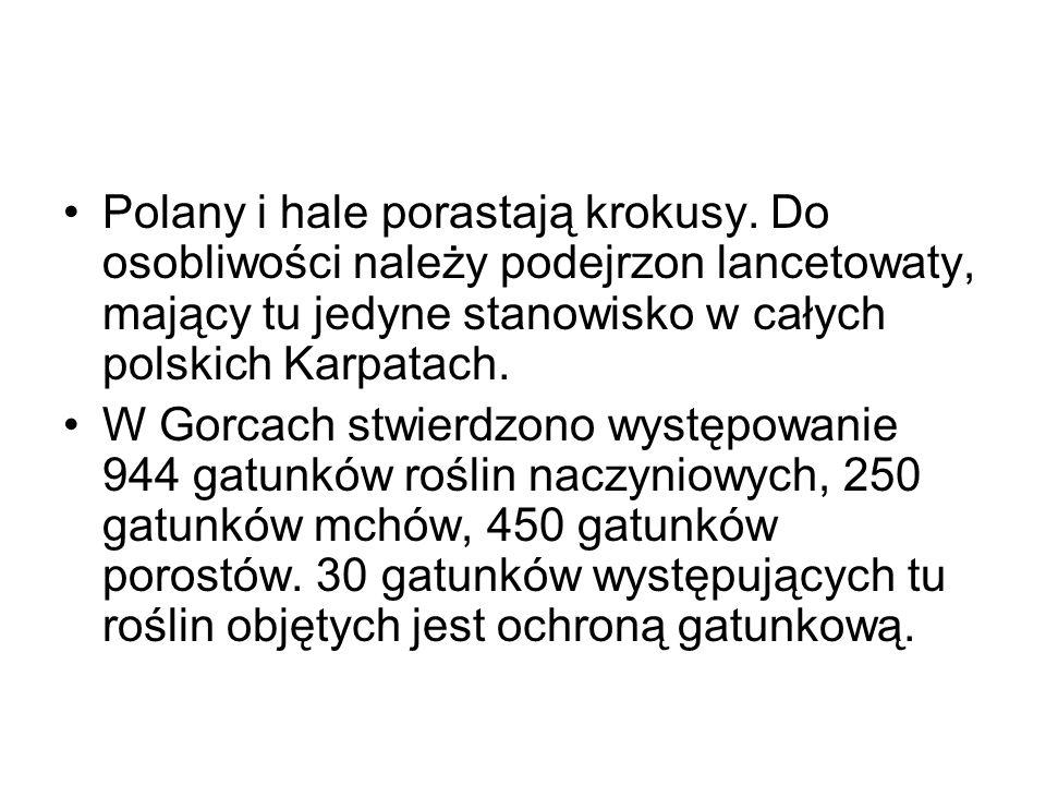Polany i hale porastają krokusy