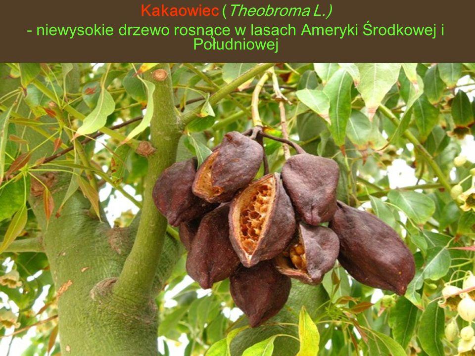 Kakaowiec (Theobroma L