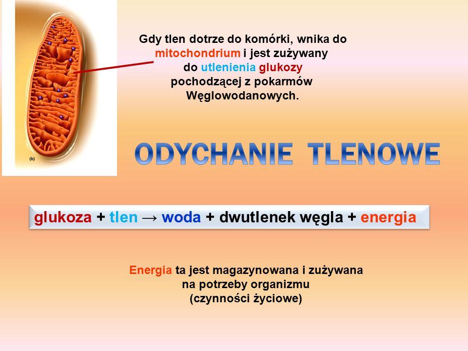 ODYCHANIE TLENOWE glukoza + tlen → woda + dwutlenek węgla + energia