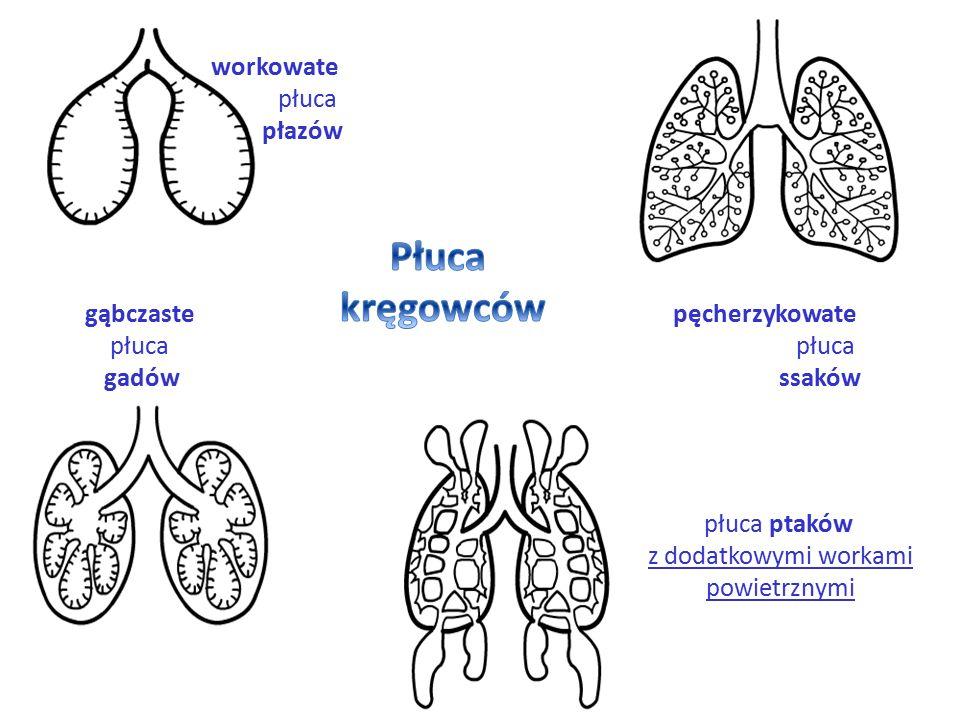 Płuca kręgowców workowate płuca płazów gąbczaste płuca gadów
