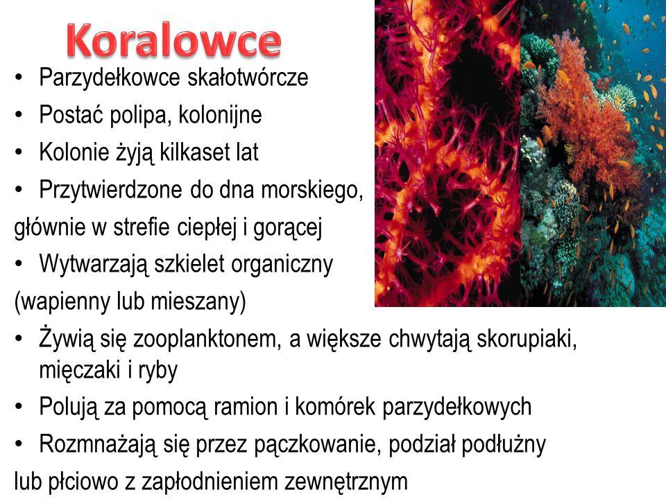 Koralowce Parzydełkowce skałotwórcze Postać polipa, kolonijne