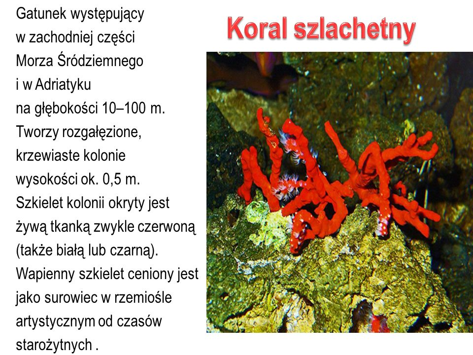 Koral szlachetny Gatunek występujący w zachodniej części