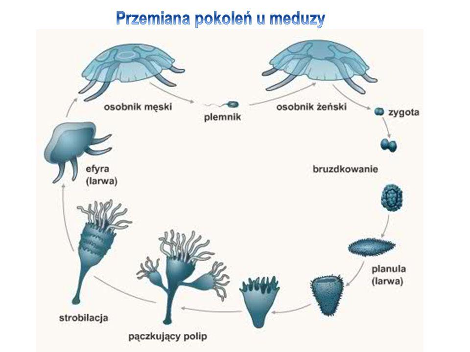 Przemiana pokoleń u meduzy