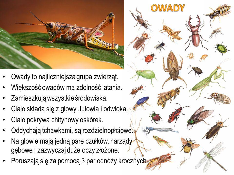 OWADY Owady to najliczniejsza grupa zwierząt.