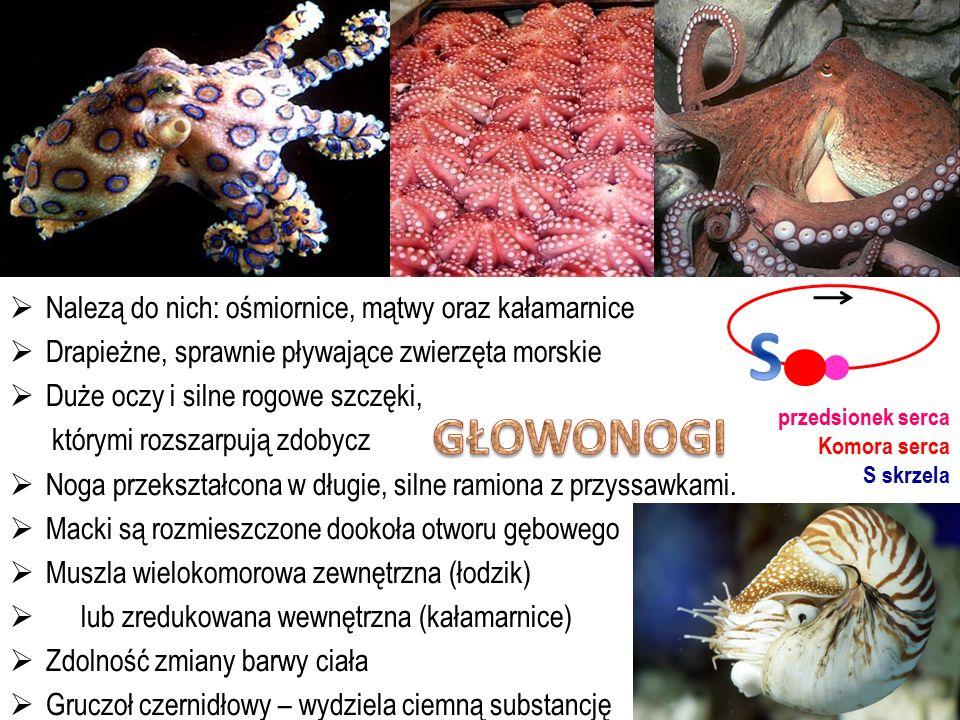 S GŁOWONOGI Nalezą do nich: ośmiornice, mątwy oraz kałamarnice