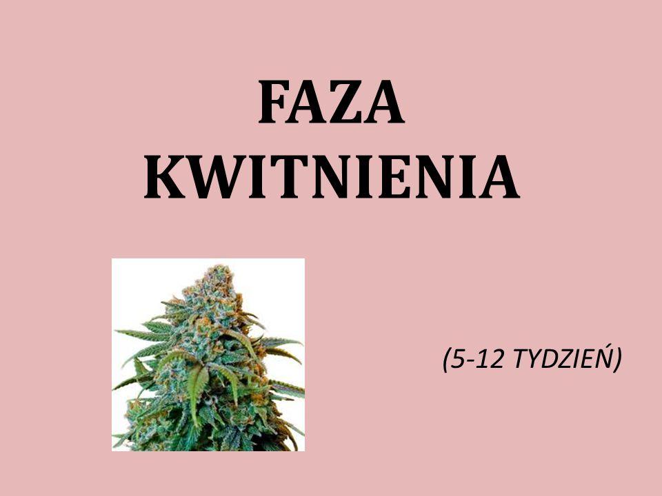 FAZA KWITNIENIA (5-12 TYDZIEŃ)