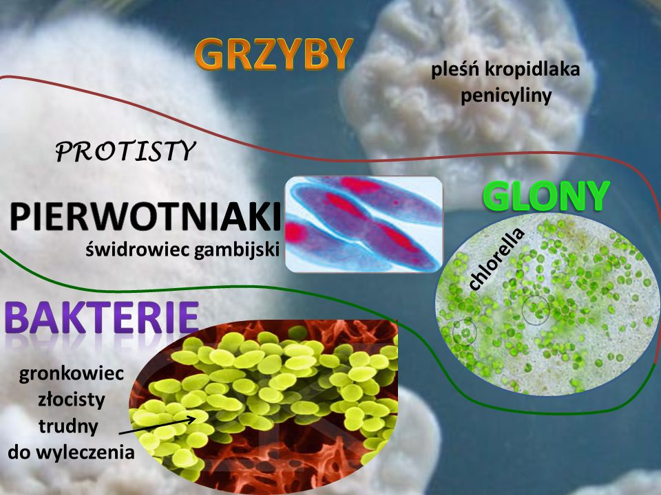 GRZYBY bakterie GLONY PIERWOTNIAKI PROTISTY pleśń kropidlaka
