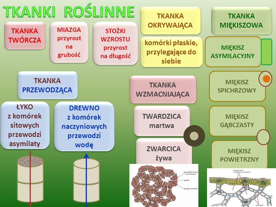 komórki płaskie, przylegające do siebie