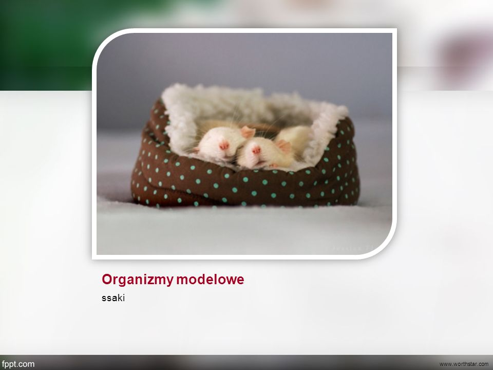Organizmy modelowe ssaki www.worthstar.com