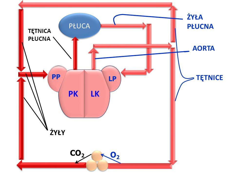 PK PK LK LK ŻYŁA PŁUCA PŁUCNA AORTA TĘTNICE ŻYŁY CO2 O2 TĘTNICA PŁUCNA