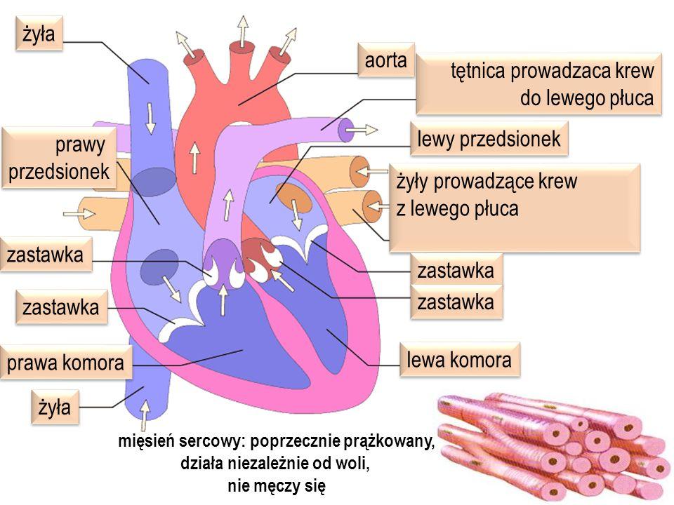 mięsień sercowy: poprzecznie prążkowany, działa niezależnie od woli,