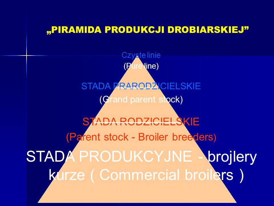 STADA PRODUKCYJNE - brojlery kurze ( Commercial broilers )