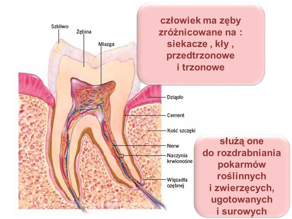 człowiek ma zęby zróżnicowane na :