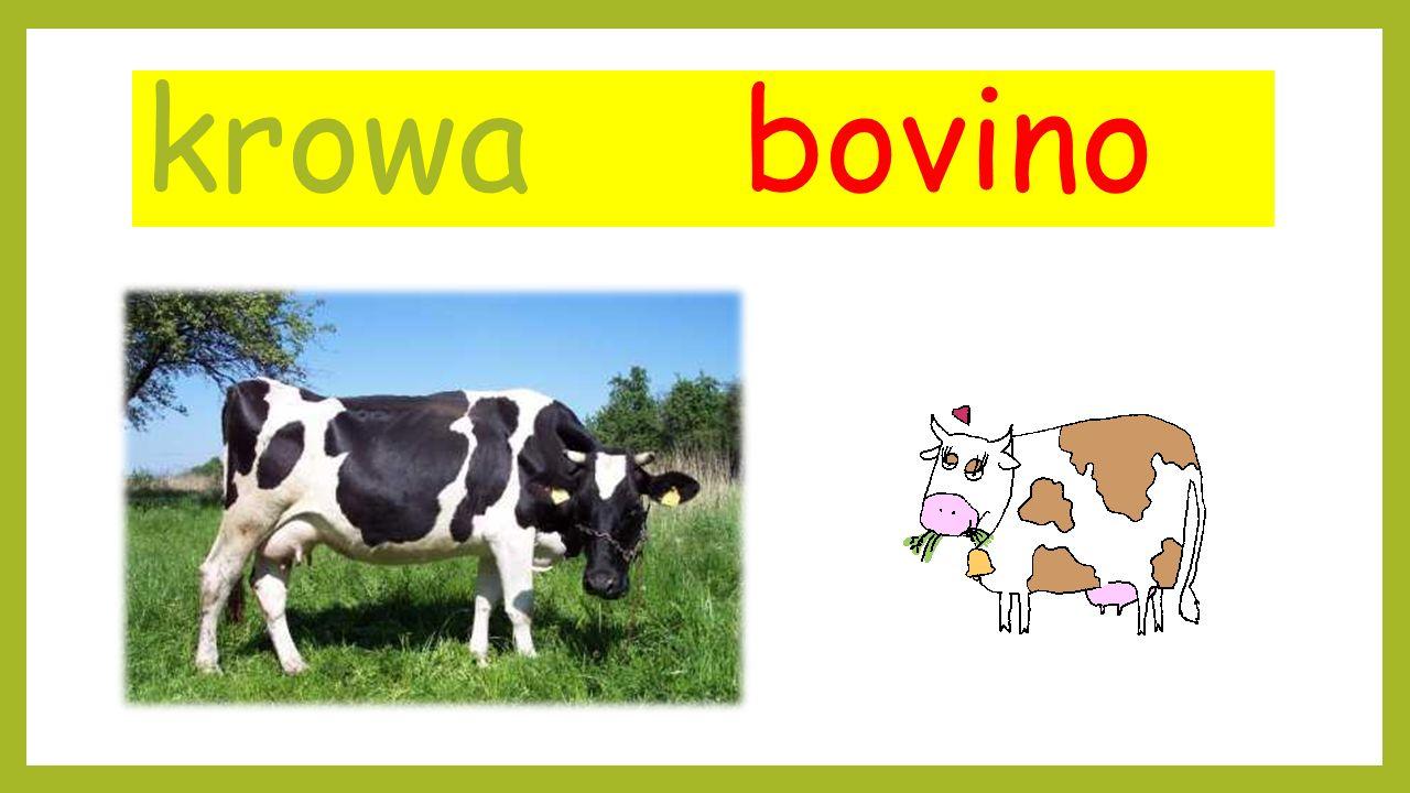 krowa bovino