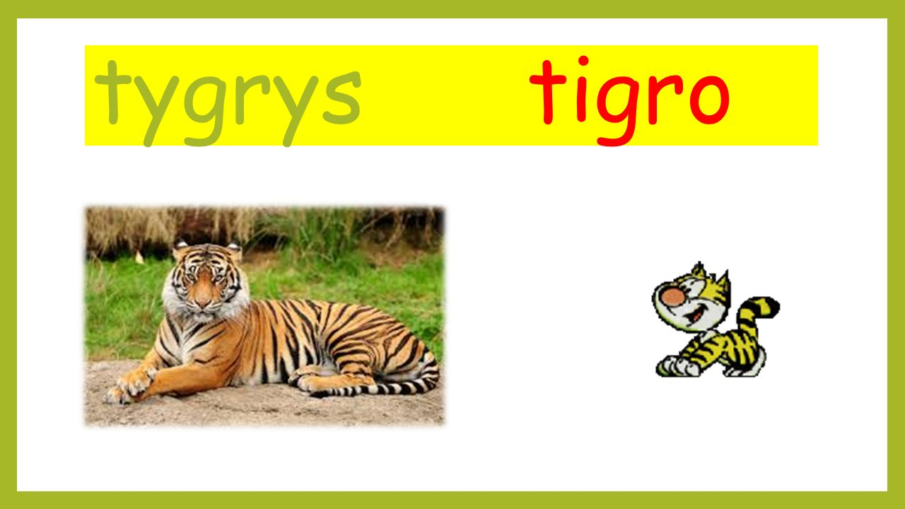 tygrys tigro