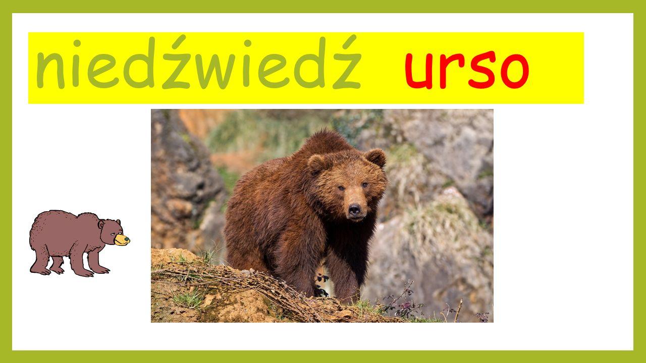 niedźwiedź urso