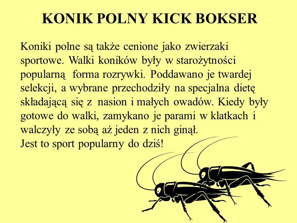 KONIK POLNY KICK BOKSER
