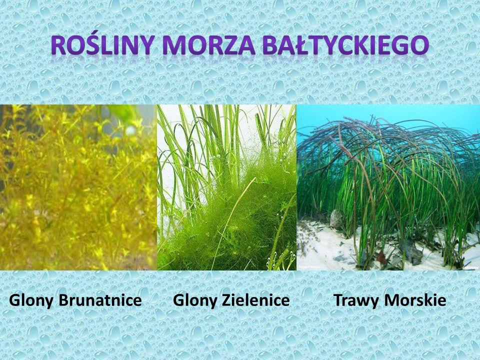 Rośliny Morza Bałtyckiego