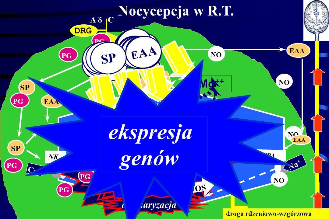 genów ekspresja Nocycepcja w R.T. EAA EAA EAA EAA EAA SP SP SP SP SP