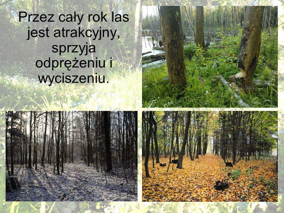 Przez cały rok las jest atrakcyjny, sprzyja odprężeniu i wyciszeniu.