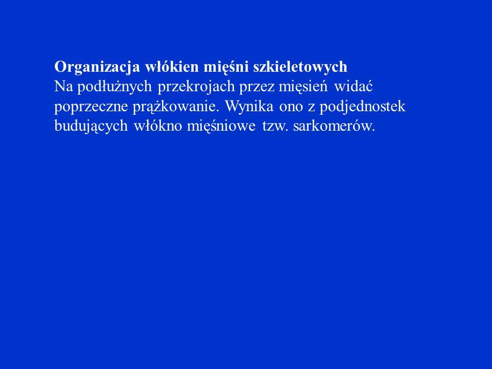 Organizacja włókien mięśni szkieletowych