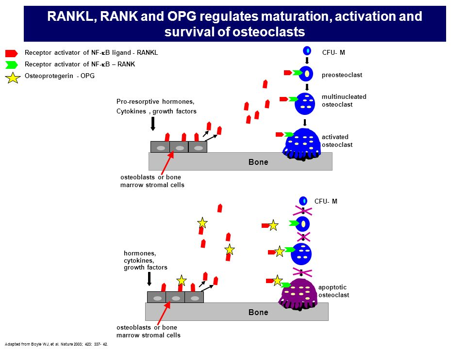 RANKL, RANK and OPG regulates maturation, activation and survival of osteoclasts